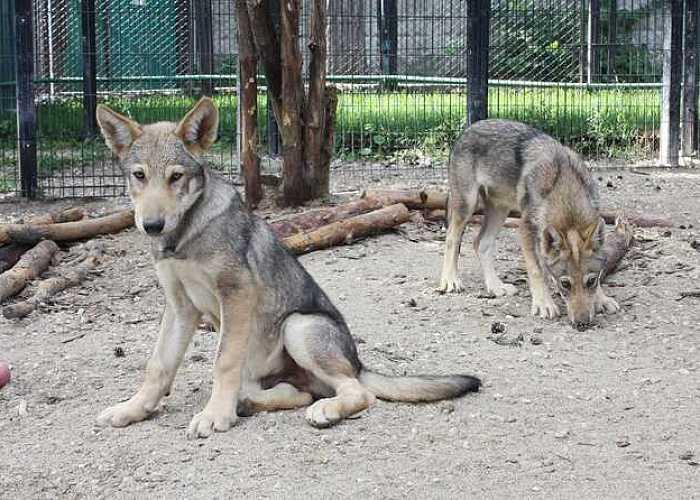 Маленькие волки челябинского зоопарка наречены героическими именами