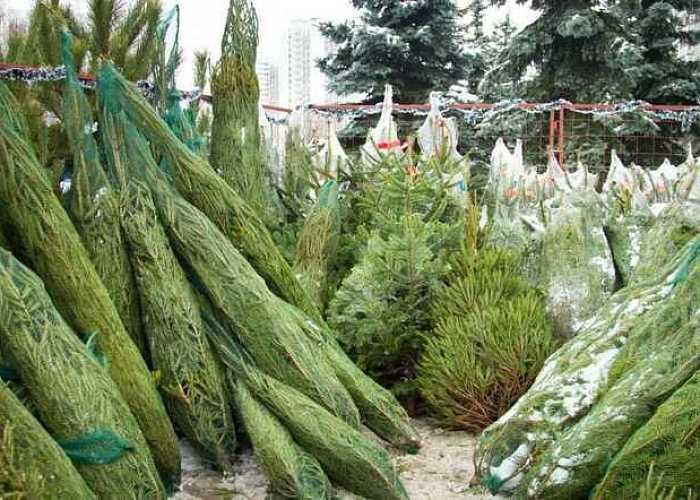 ВЧелябинской области продадут до 100 000 новогодних деревьев